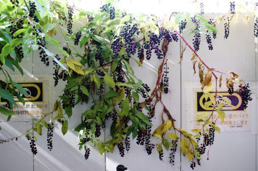 育ちすぎるヨウシュヤマゴボウ – Great Inkberry