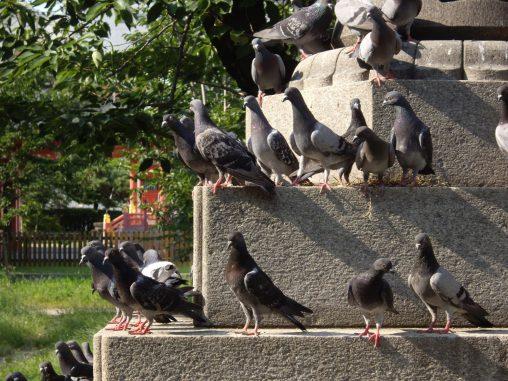 鳩軍団 – Corps of Pigeons