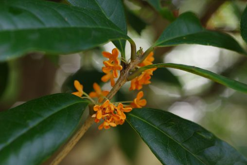 金木犀 – Fragrant orange-colored olive