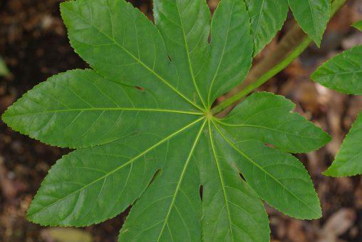 ヤツデの葉 – a Leaf of Japanese Aralia
