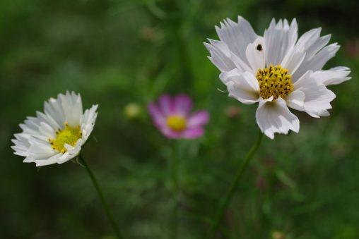 コスモス3輪 – Three Cosmos flowers