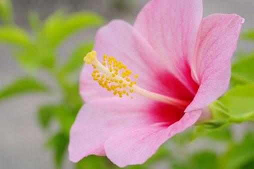 ブッソウゲ – Chinese hibiscus