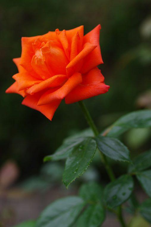 バラ(マリーナ) – Rose (Marina)