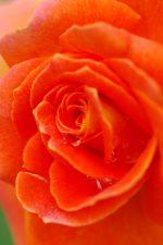 バラ(ブラスバンド) – Rose (Brass band)