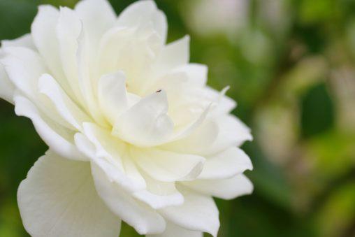 バラ(シュネーヴィッツェン) – Rose (Schneewittchen)