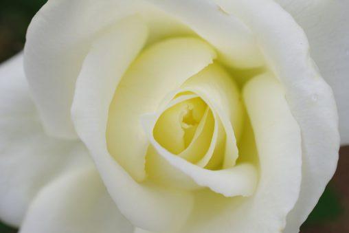 白バラ – White Rose