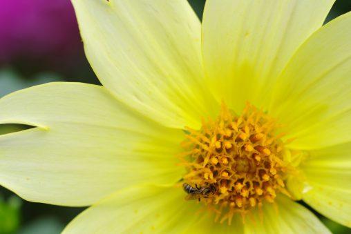 ダリアに蜂 – Bee on a Dahlia flower