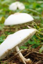 オオシロカラカサタケ – Parasol mushroom