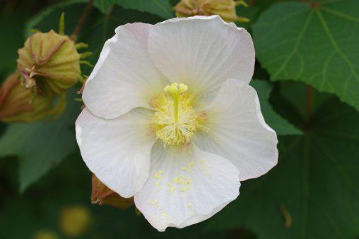 サキシマフヨウ – Hibiscus makinoi