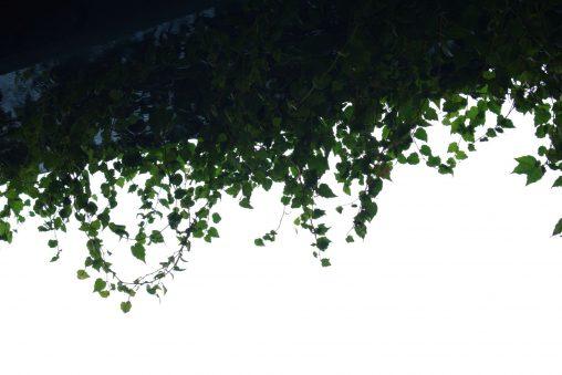 つた – Ivy