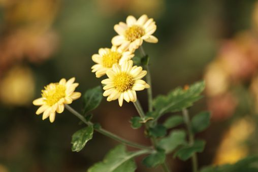 菊の花 – Chrysanthemum