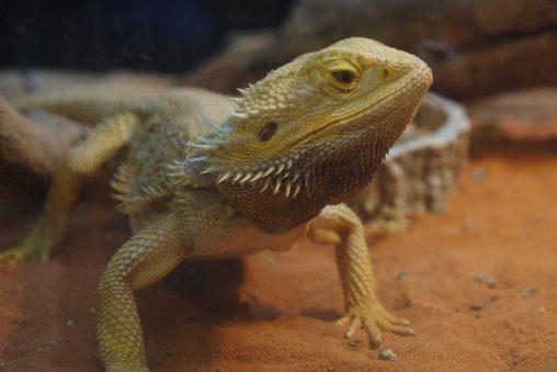 ドヤ顔のフトアゴヒゲトカゲ – Central bearded dragon