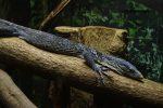 アオホソオオトカゲ – Blue tree monitor
