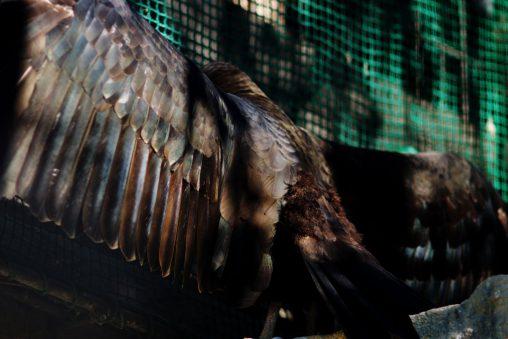 広がるキガシラコンドル – Lesser Yellow-headed Vulture