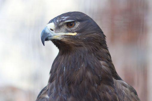 ソウゲンワシ – Steppe-Eagle
