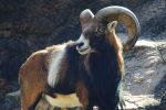 ムフロン – Mouflon