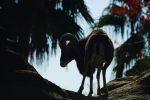 崖上のムフロン – Mouflon