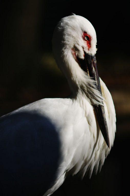 コウノトリ – Japanese White Stork