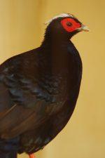 コサンケイ – Edwards's pheasant
