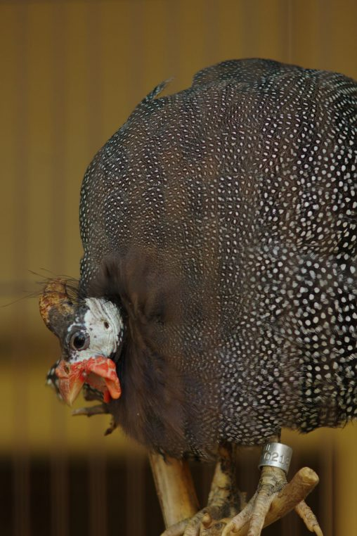 ホロホロチョウ – Guinea Fowl