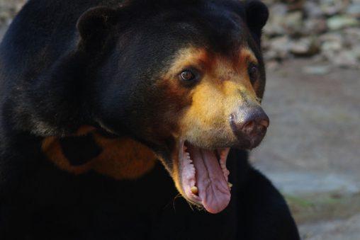 変顔マレーグマ – Sun Bear