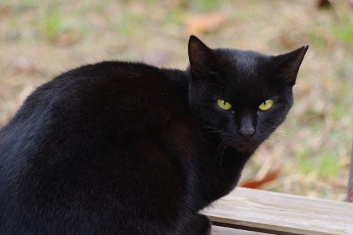 見返り黒猫 – Looking back cat