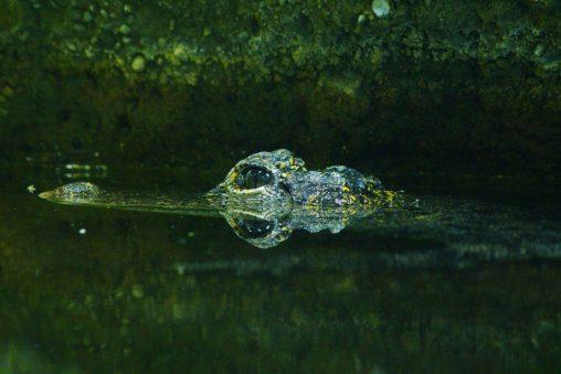 ヨウスコウワニ – Chinese Alligator