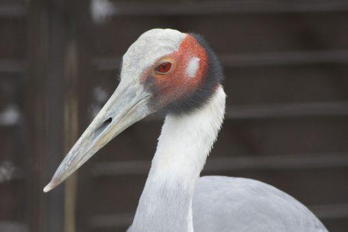 オオヅル – Sarus crane