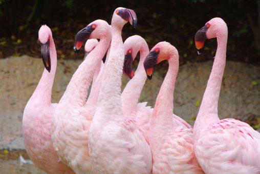 コフラミンゴ – Lesser Flamingo