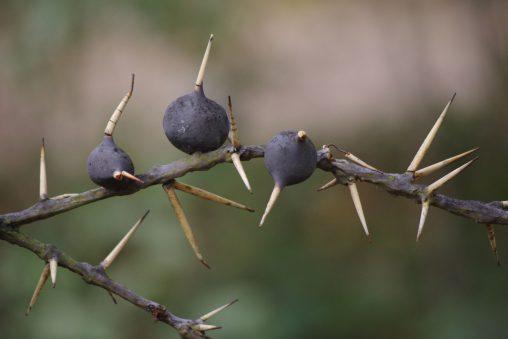 アカシアの棘 – Thorn of acacia