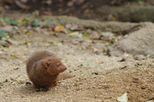 コビトマングース – Common dwarf mongoose
