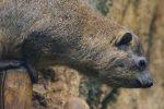 ケープハイラックス – Cape hyrax