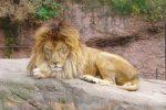 ライオン – Lion