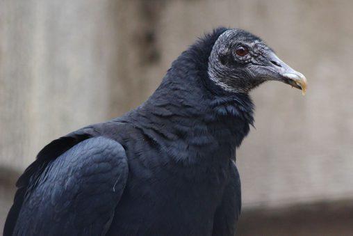 クロコンドル – Black Vulture