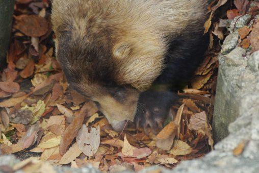 ニホンアナグマ – Japanese badger