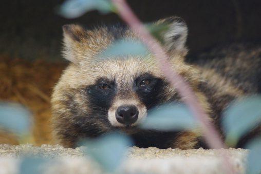 ホンドタヌキ – Japanese Raccoon Dog
