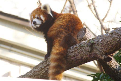 レッサーパンダ – Lesser Panda