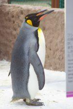 オウサマペンギン(2羽) – Two King Penguins