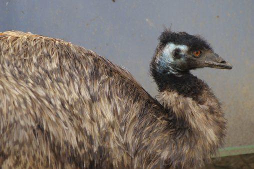 エミュー – Emu