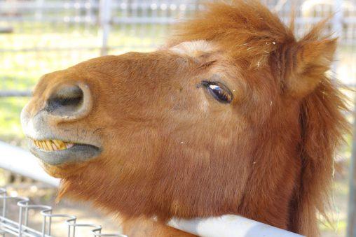 野間馬 – Noma horse