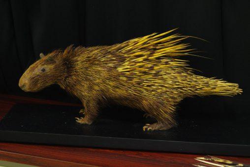 インドタテガミヤマアラシ(剥製) – Indian crested porcupine