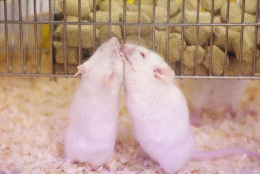 寄り添いマウス – House mouse