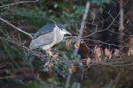 ゴイサギ – Night heron