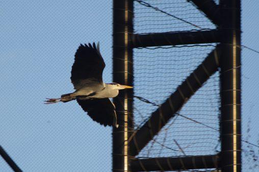 ゴイサギ飛行中 – Night heron