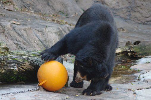 ボールで遊ぶツキノワグマ – Japanese Black Bear