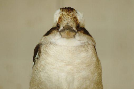 ワライカワセミ – Laughing Kookaburra