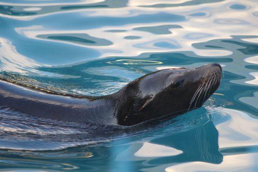 カリフォルニアアシカ – California sea lion