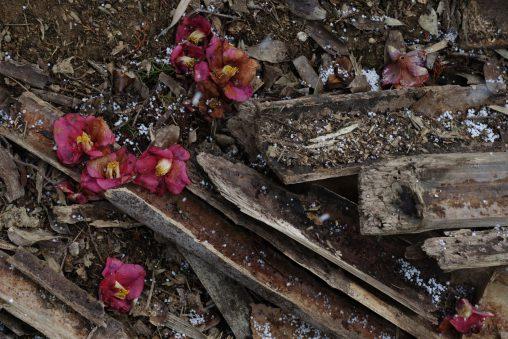 落椿 – Dropped Camellia Flower