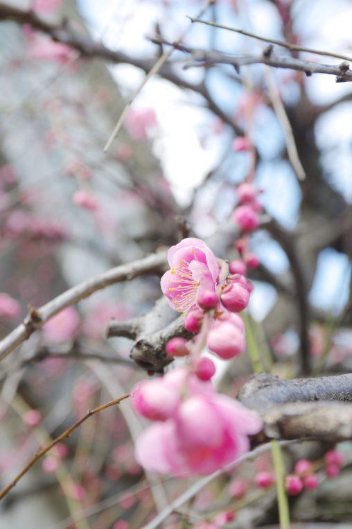 しだれ梅 – Plum flower