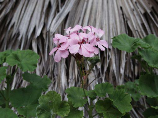 アイビーゼラニウム – Ivy-leaved Geranium